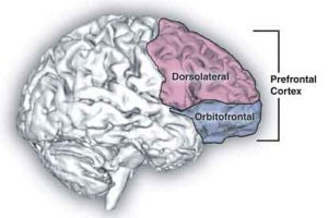 brain-prefrontal-cortex